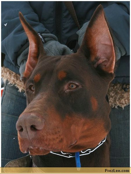 Brown dobermann head
