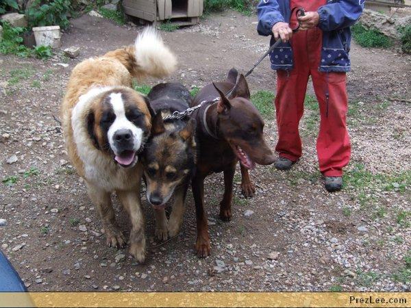 Hármasfogat kutyákkal